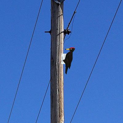 Woodpecker Bird Hazing Device